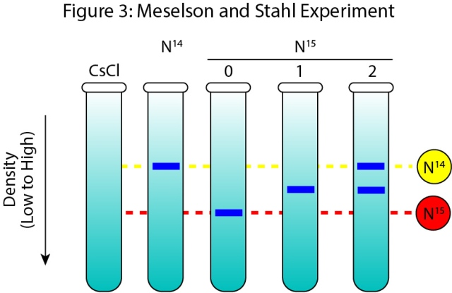 Cartoon representation of the Results from the Meselson Stahl Experiment.