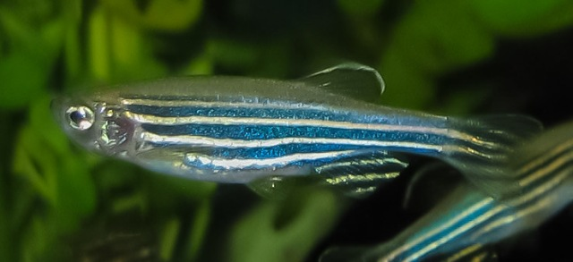 Zebrafish Image source Wikimedia Commons Author Azul