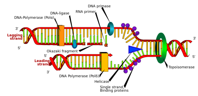 DNA replication or DNA synthesis is the process of copying a double-stranded DNA molecule. This process is paramount to all life as we know it.