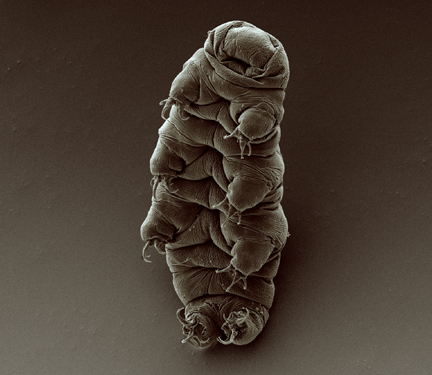 Scanning electron micrograph of an adult tardigrade (water bear). By the Goldstein lab – tardigrades This image, which was originally posted to Flickr, was uploaded to Commons using Flickr upload bot on 28 September 2009, 13:40 by Tryphon. This file is licensed under the Creative Commons Attribution-Share Alike 2.0 Generic license.